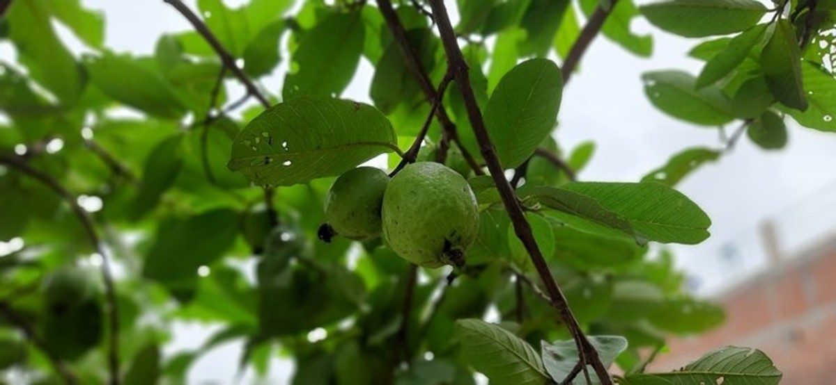 Guava fruit and leave