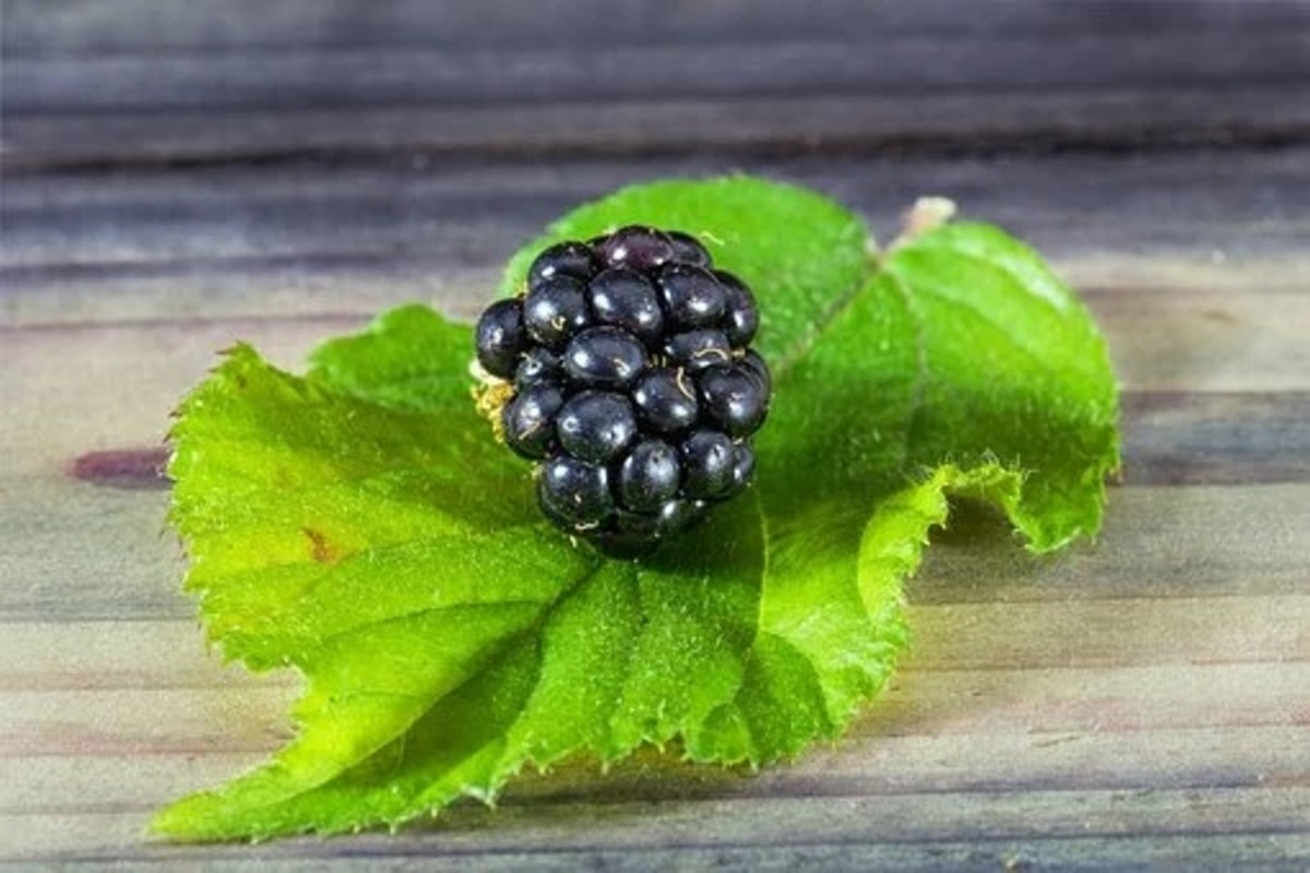 Blackberry leave and fruit