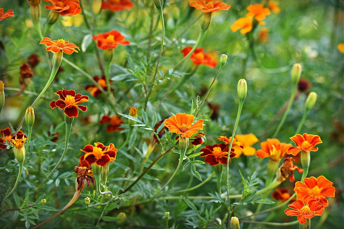 Marigold Tagetes comes in a range of bold colors