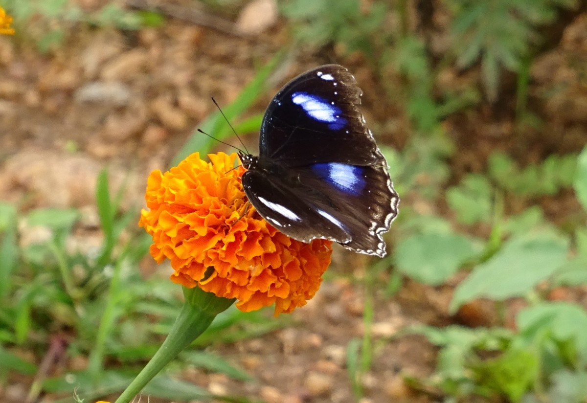 The bright colors make them popular with pollinating insects.