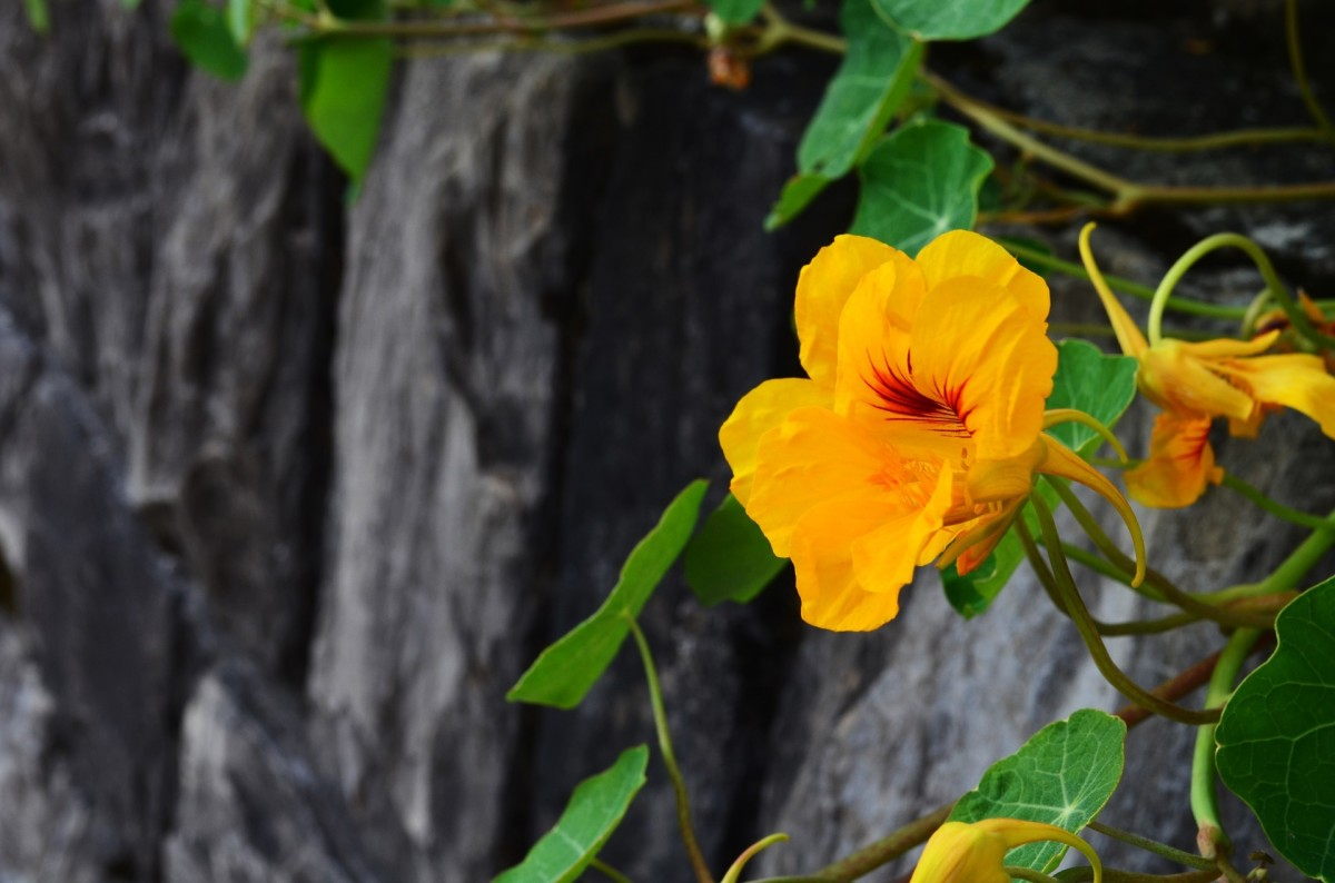 Beautiful and good for your health, Nasturtiums are a valuable plant in the garden.