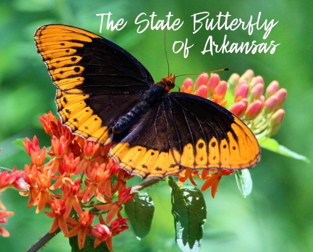 state-butterfly-of-arkansas