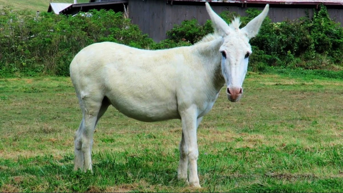 """This mule resembles """"Gray Bones,"""" but sadly is not her."""