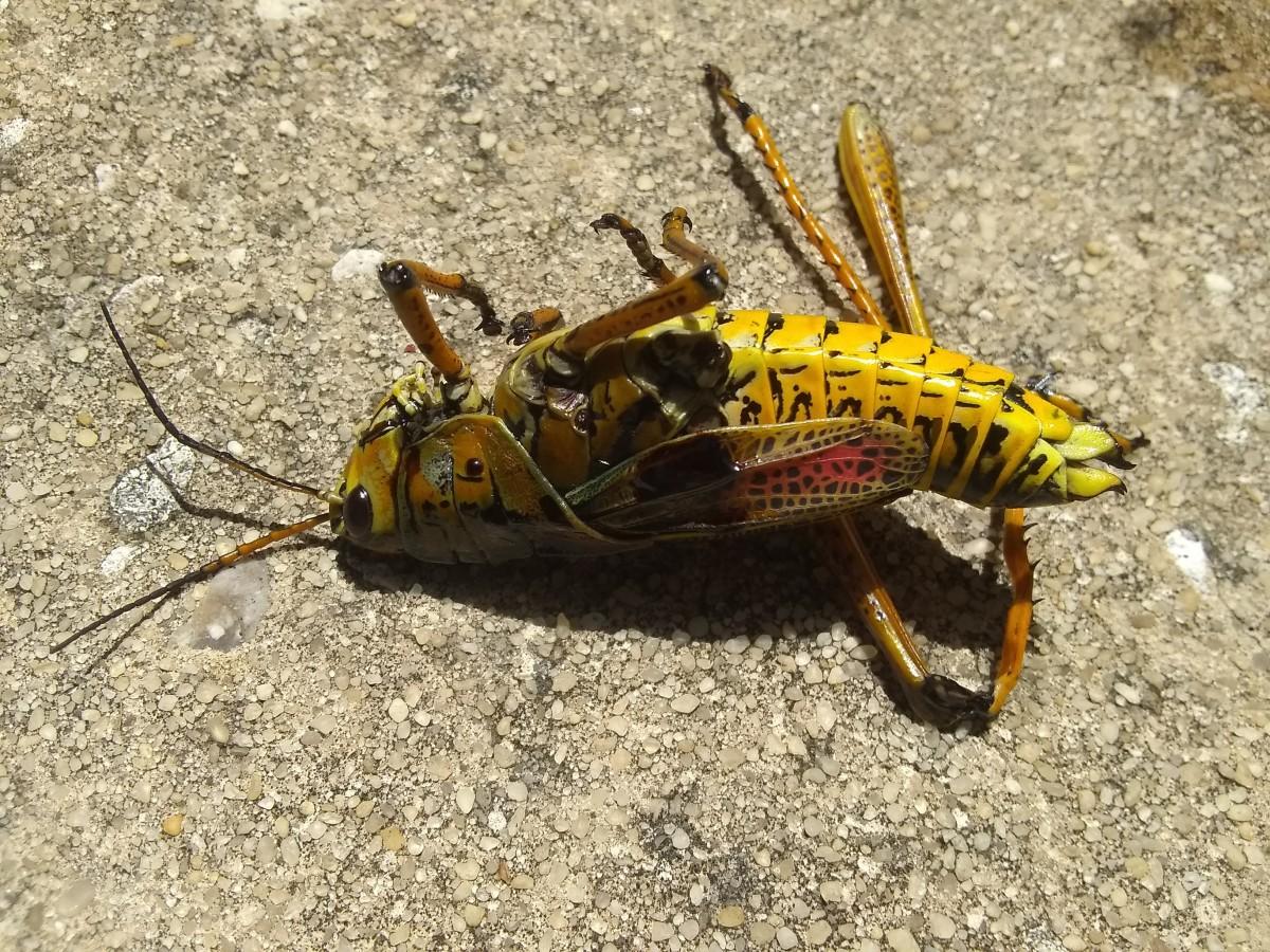 A Locust not a Grasshopper