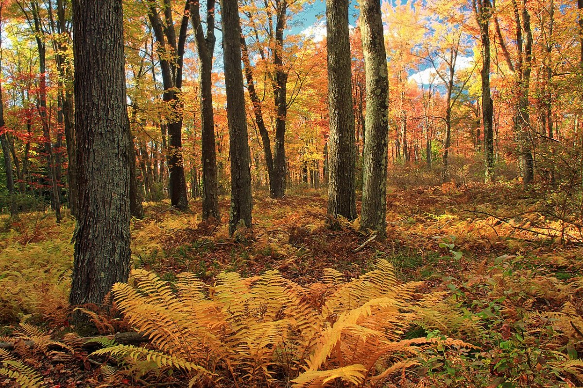 The sterile fronds turn yellow in the fall, adding color to the landscape.