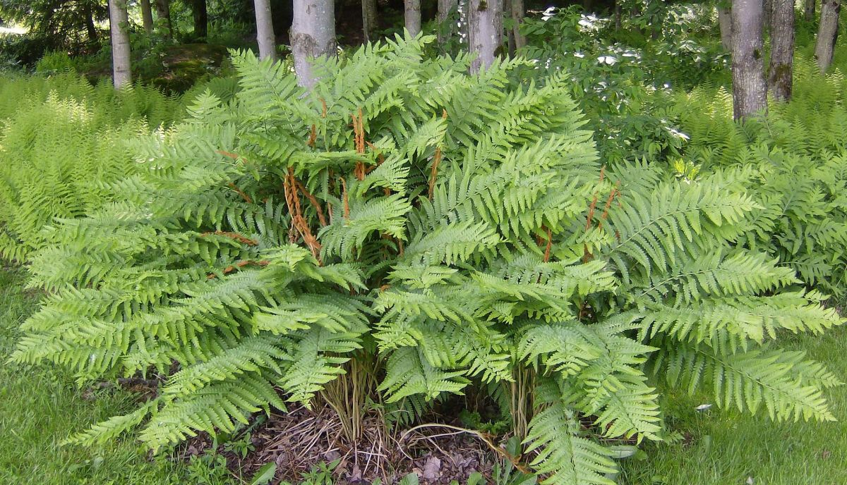 How to Grow Cinnamon Fern, a Native Plant