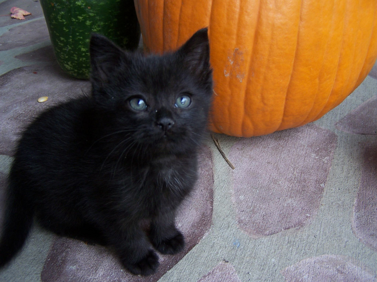 A sweet black kitty with an orange pumpkin makes a perfect Halloween picture.