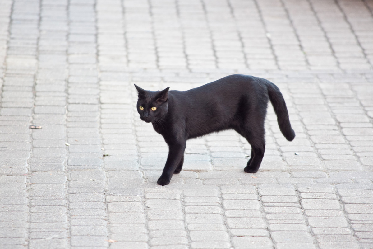 A black cat crossing the road means good luck!