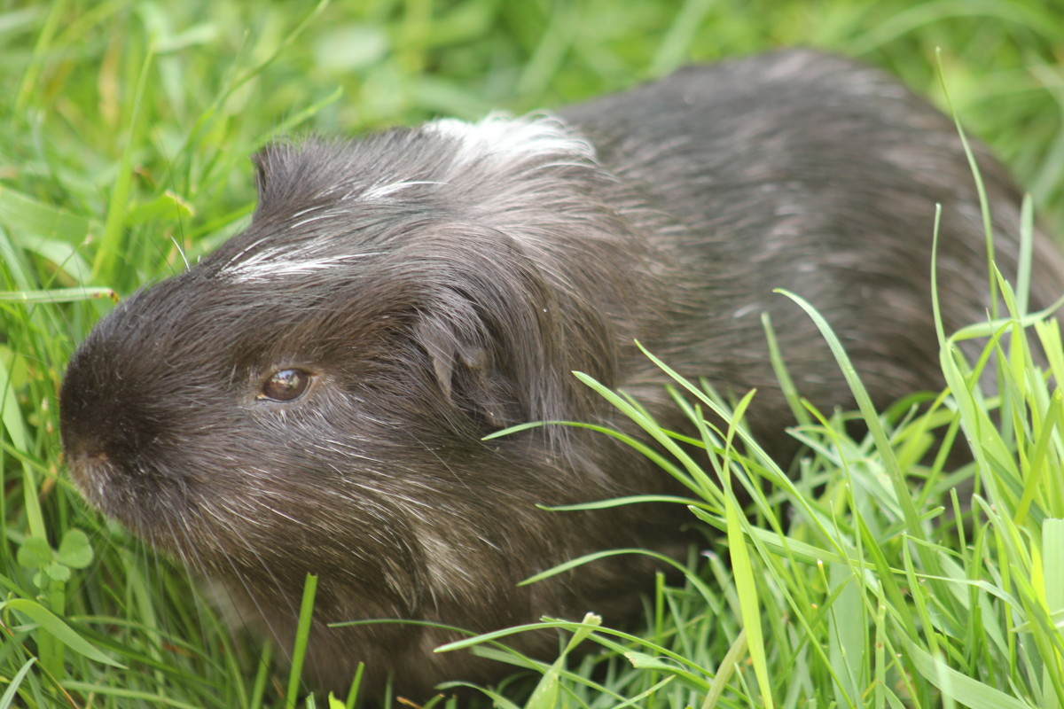 guinea pig hanging out on the grass