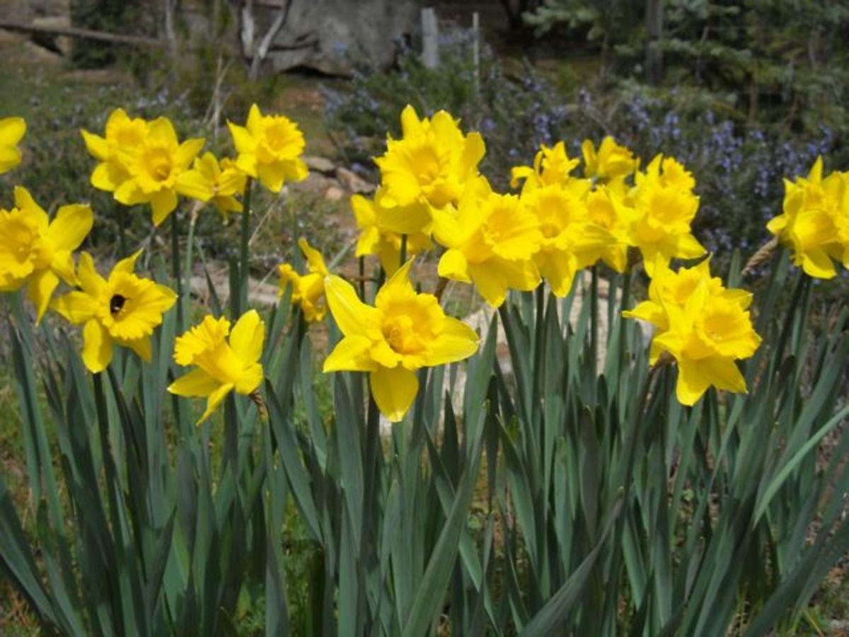 My Daffodills