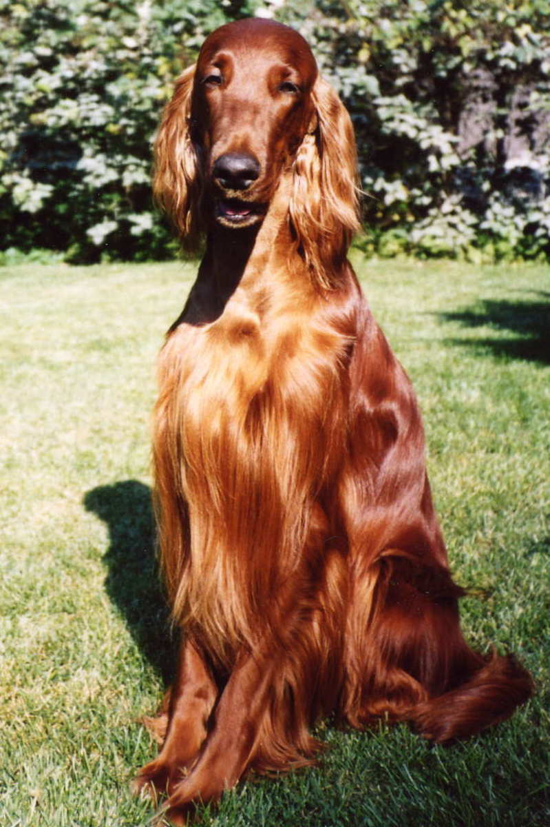 Irish Setter Facts and Irish Setter Information