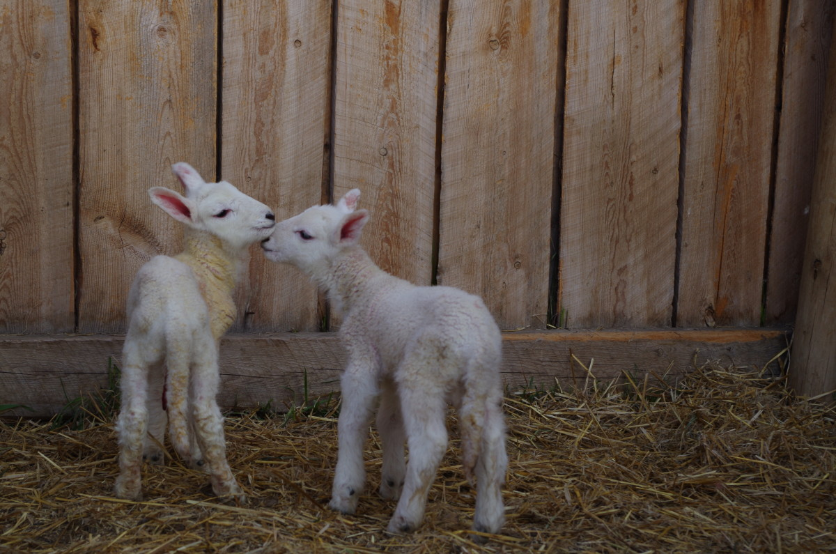 Bottle lambs can get very attached to each other