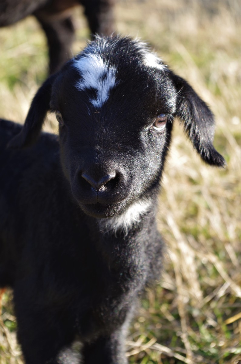 A thriving lamb