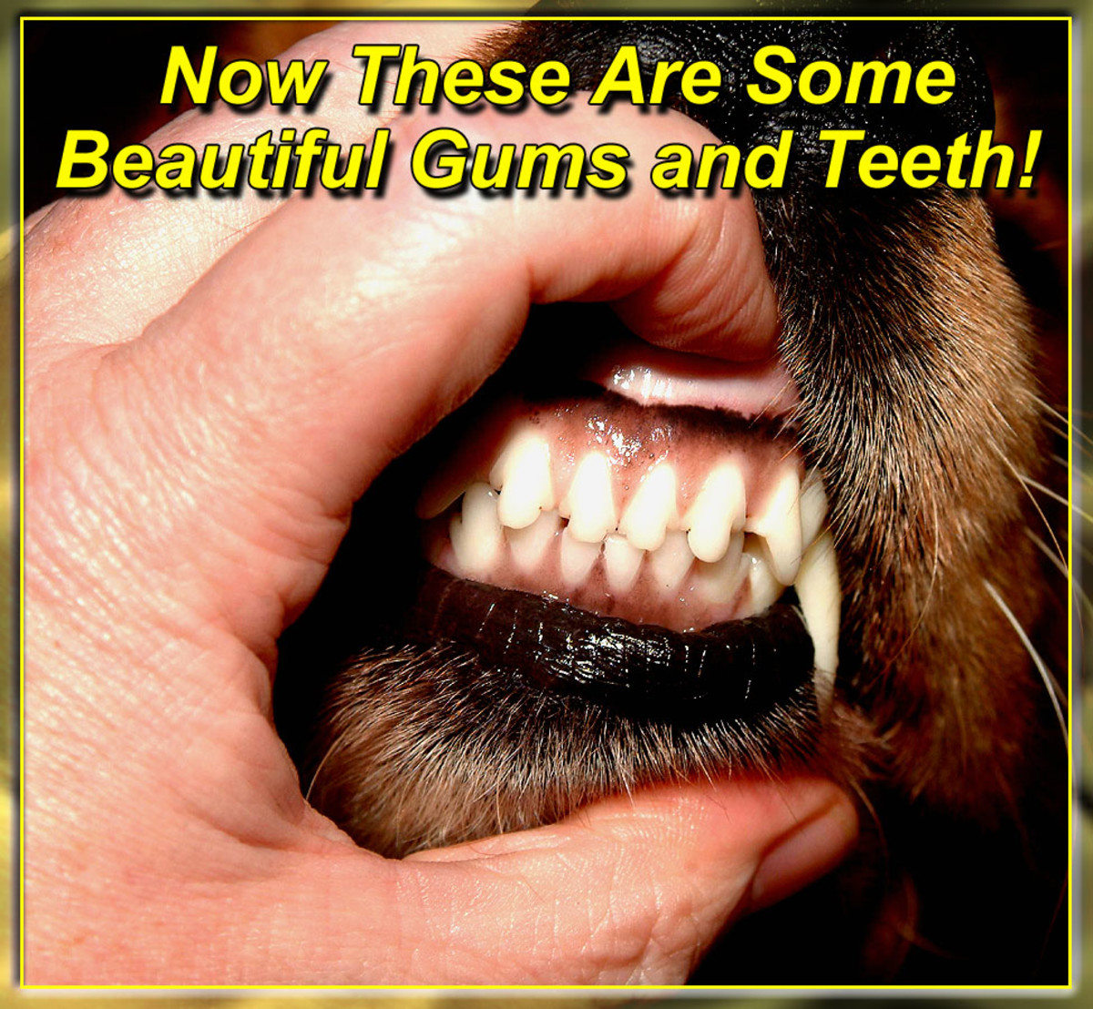 Clean plaque-free teeth and healthy tight pink gums are a sure sign that your dog has good health and fresh breath!