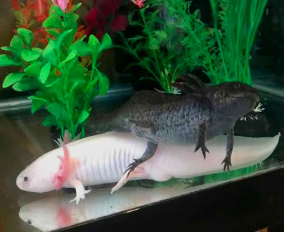 fun-facts-about-axolotls