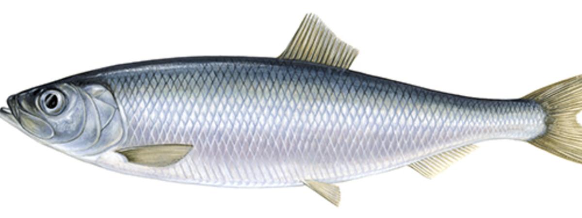 Herrings fish (also called 'sáwá')