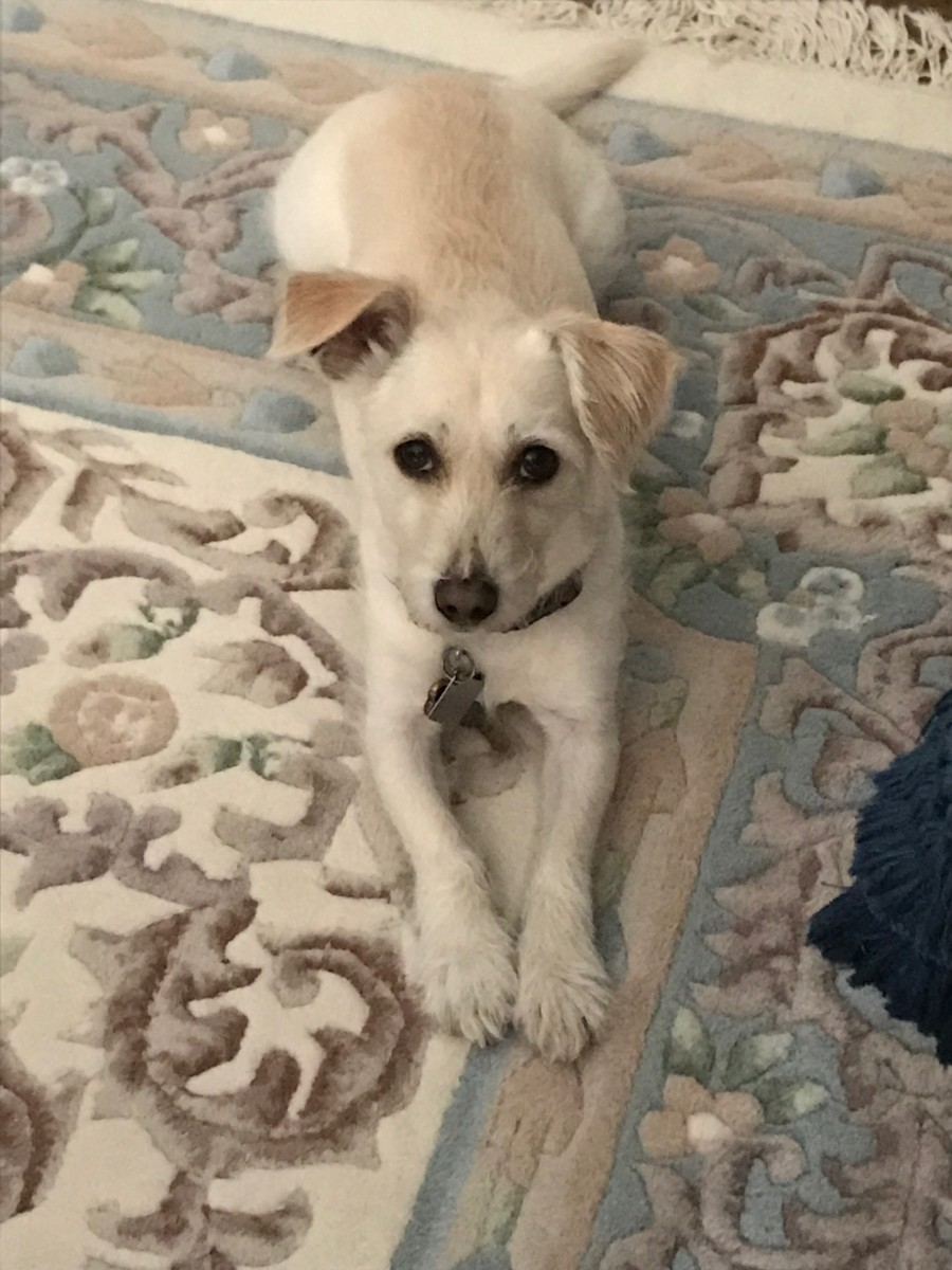 My Jack Russell Westie Mix.