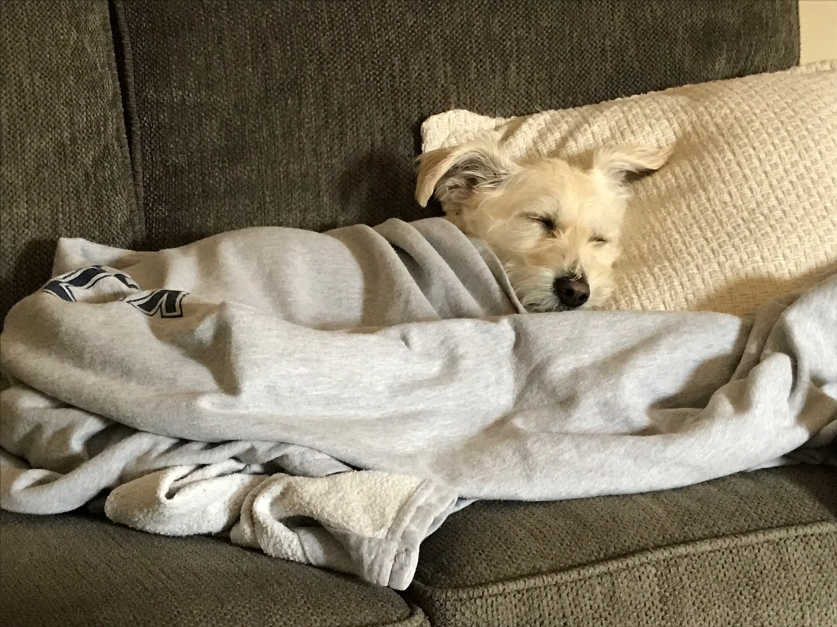 My Jack Russell Westie Mix taking a nap on the couch.
