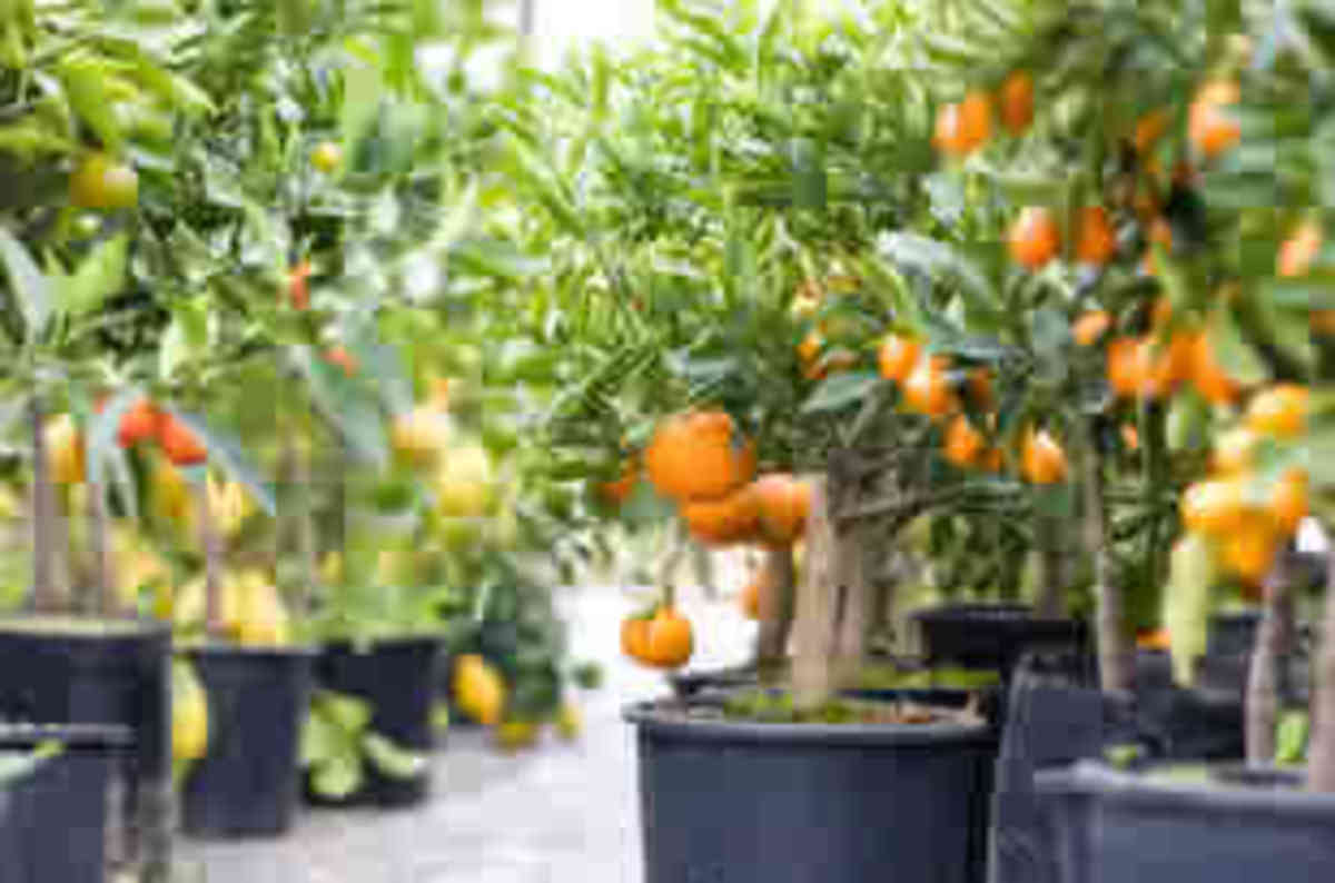 Orange tree in pots  www.organicguide.com