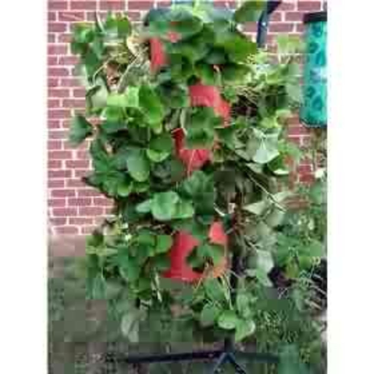 Vertical strawberries