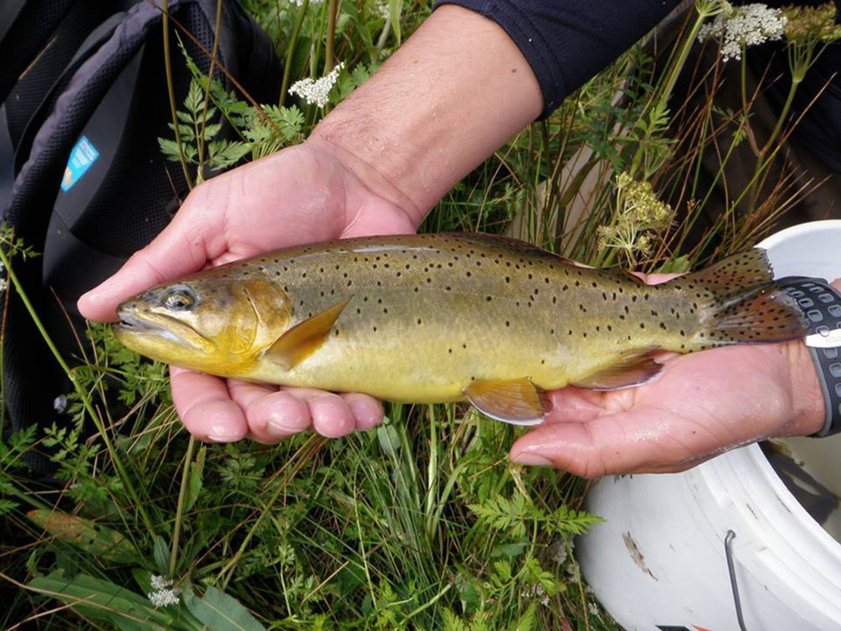 State fish of Arizona - the Apache trout
