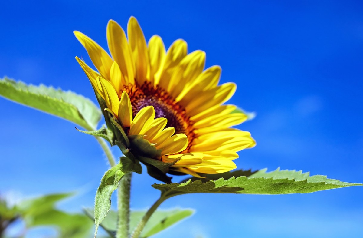 Sunflower: Image by Couleur from Pixabay