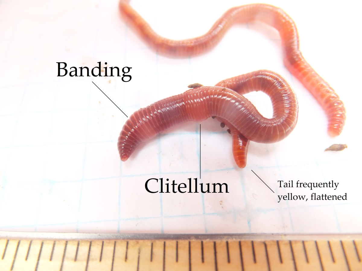 European Nightcrawler with clitellum and banding labeled