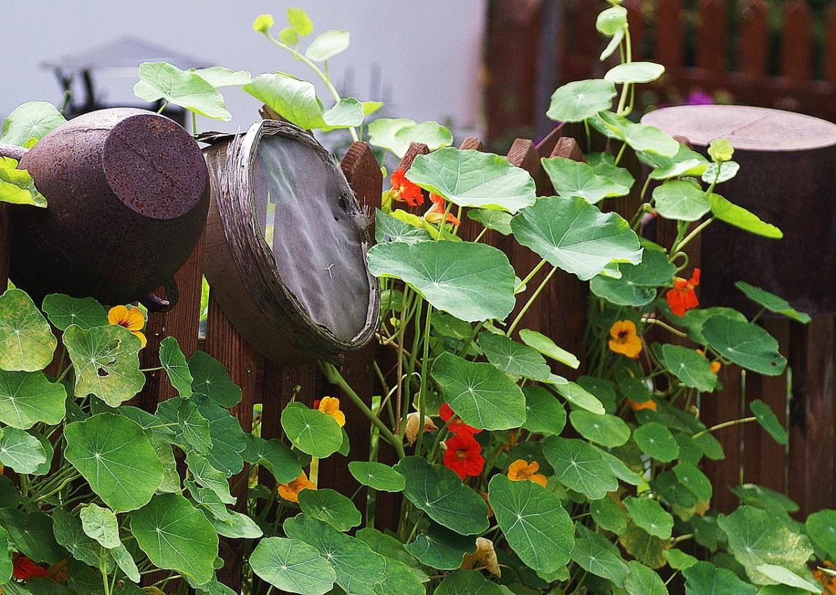 how-to-grow-nasturtium-an-edible-flower