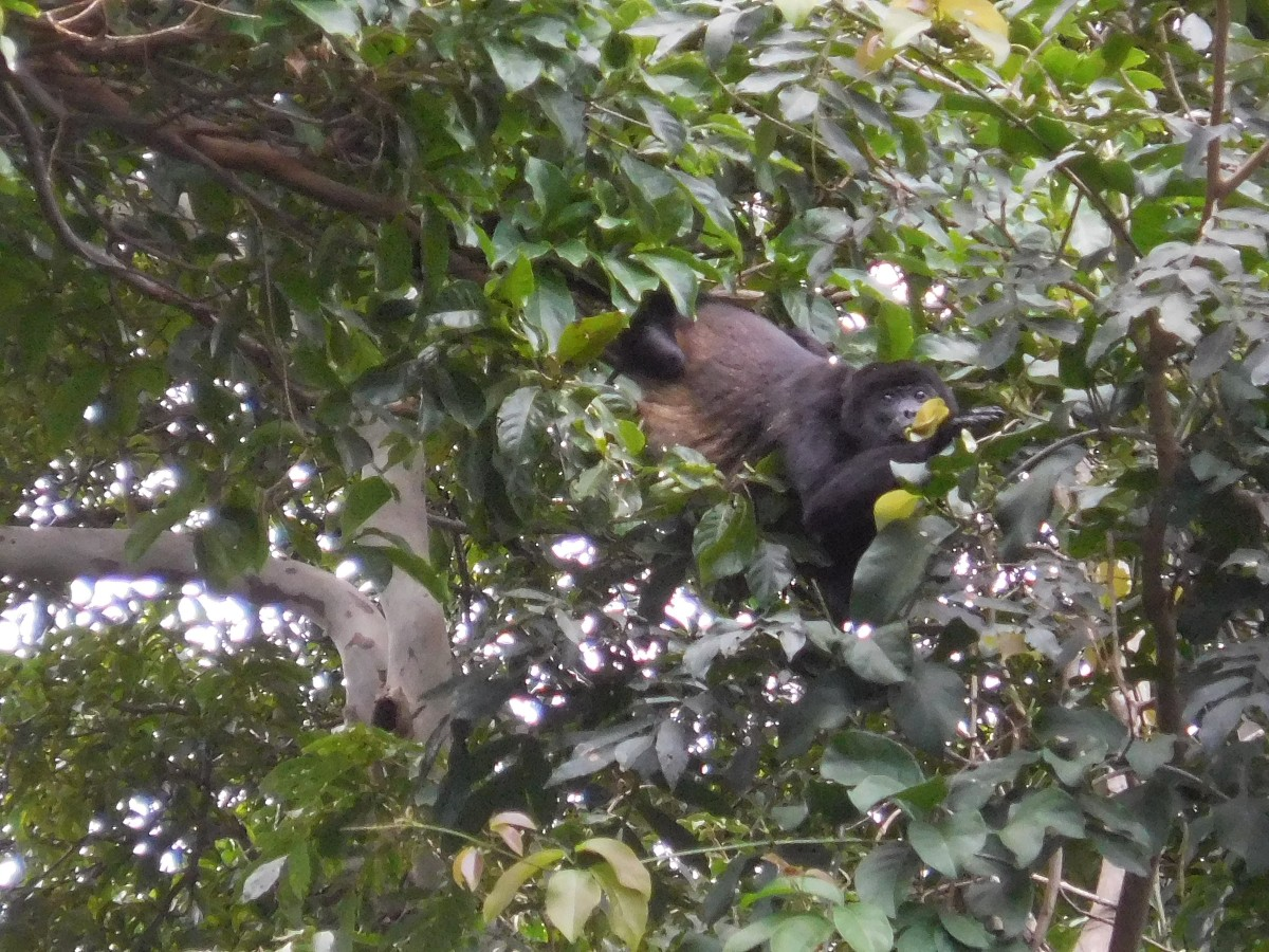 I was able to capture this incredible photo of a Howler monkey with my digital camera. Its abilities to zoom in far exceeds any iPhone.