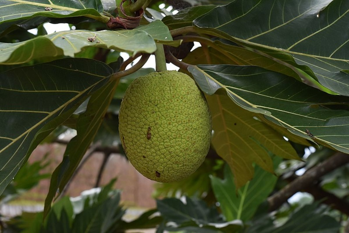 Breadfruit on tree