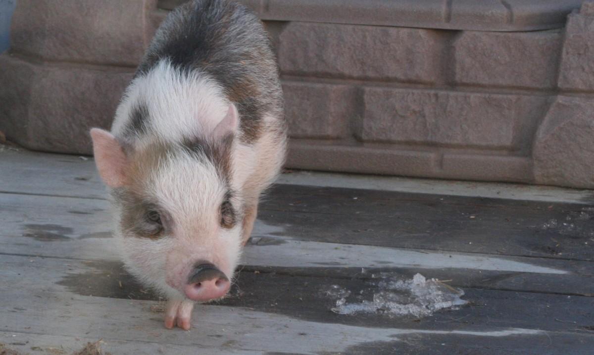 being-a-pet-pig