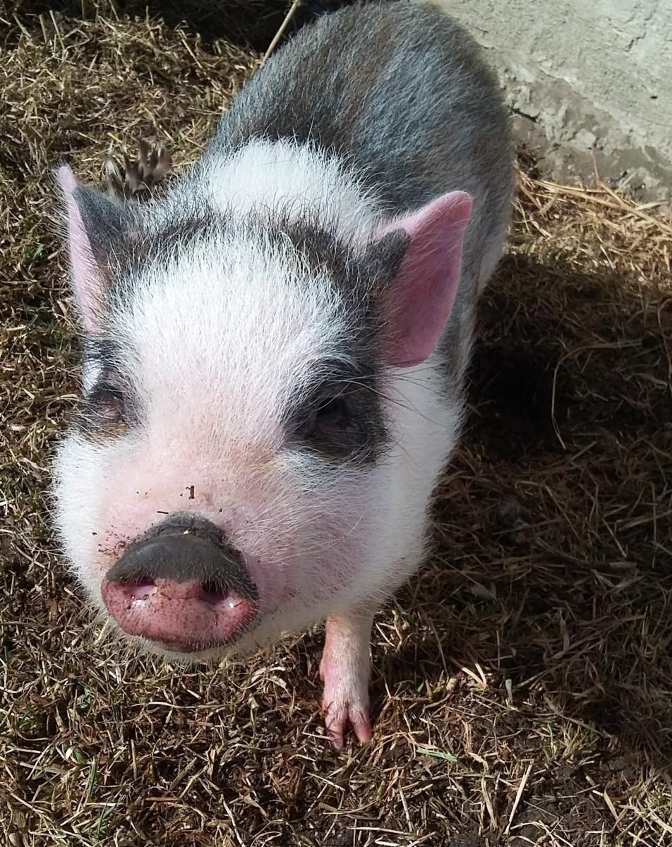 Ramses the mini pig