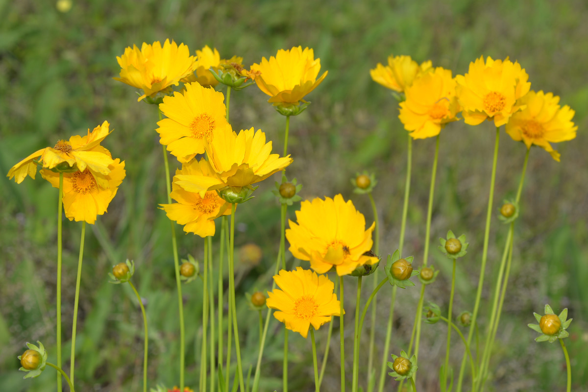 Coreopsis: Easy to Grow and an Asset to the Garden