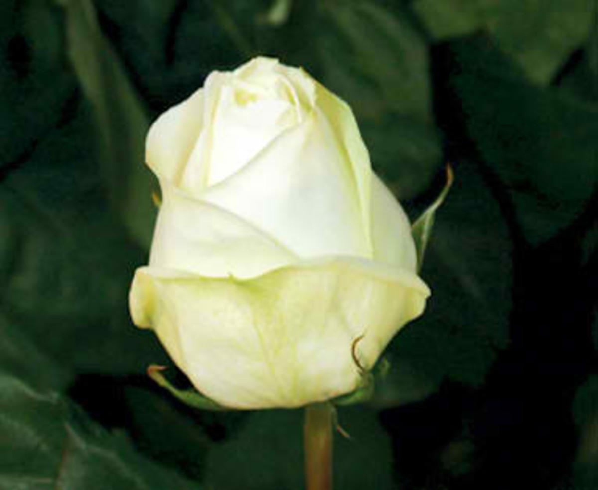 Polo Rose