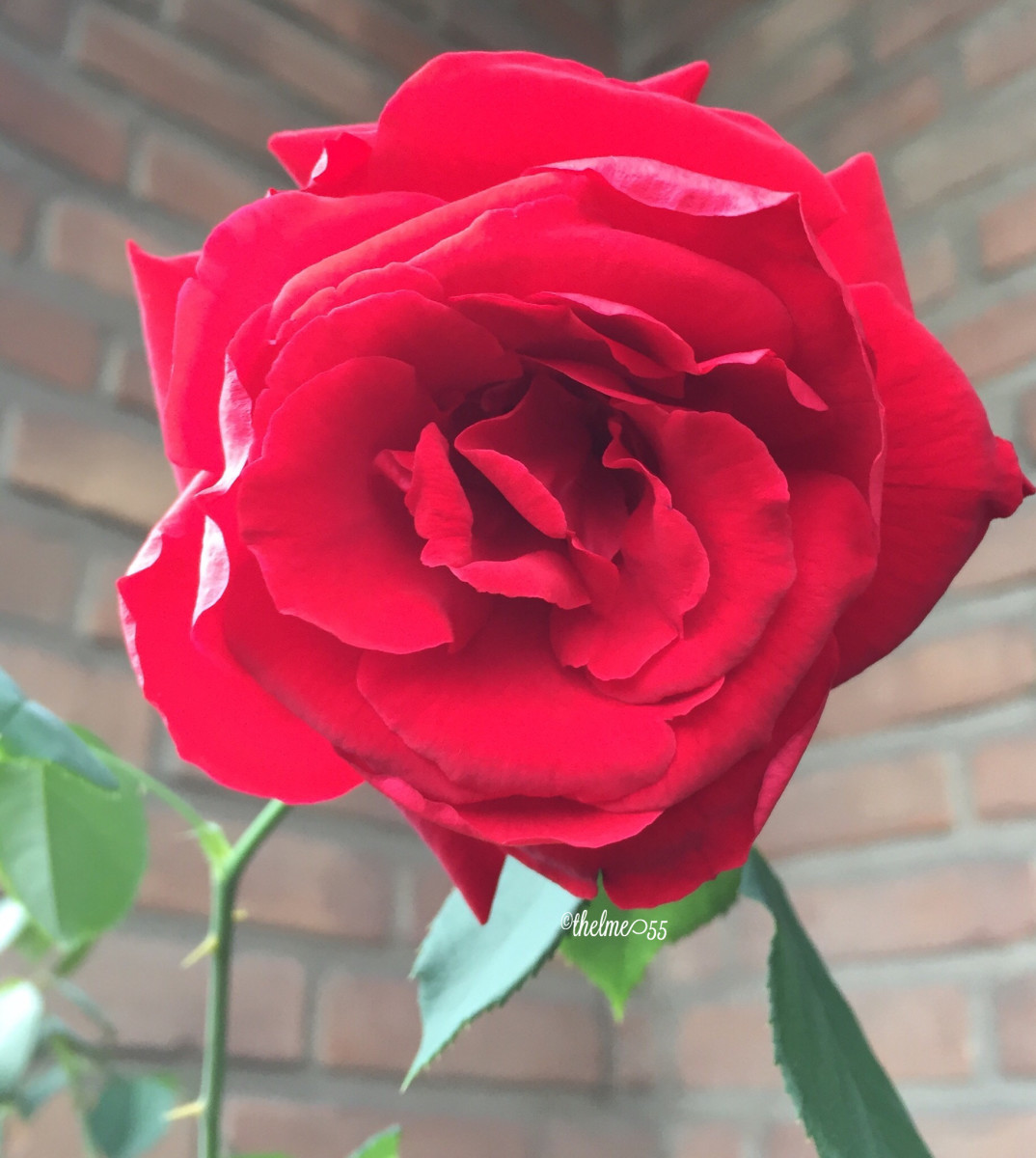 Gorgeous organically grown red rose.