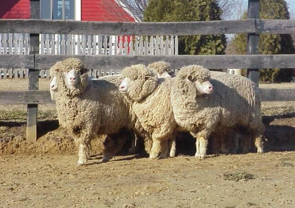 Cormo sheep