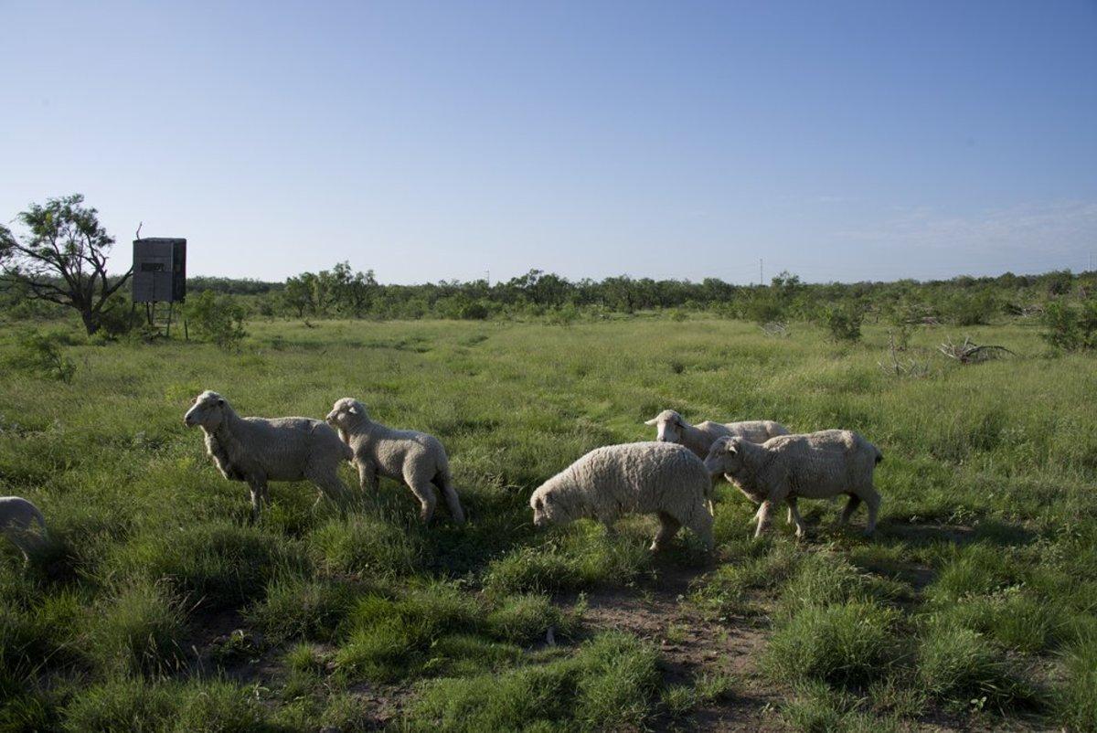 Debouillet sheep