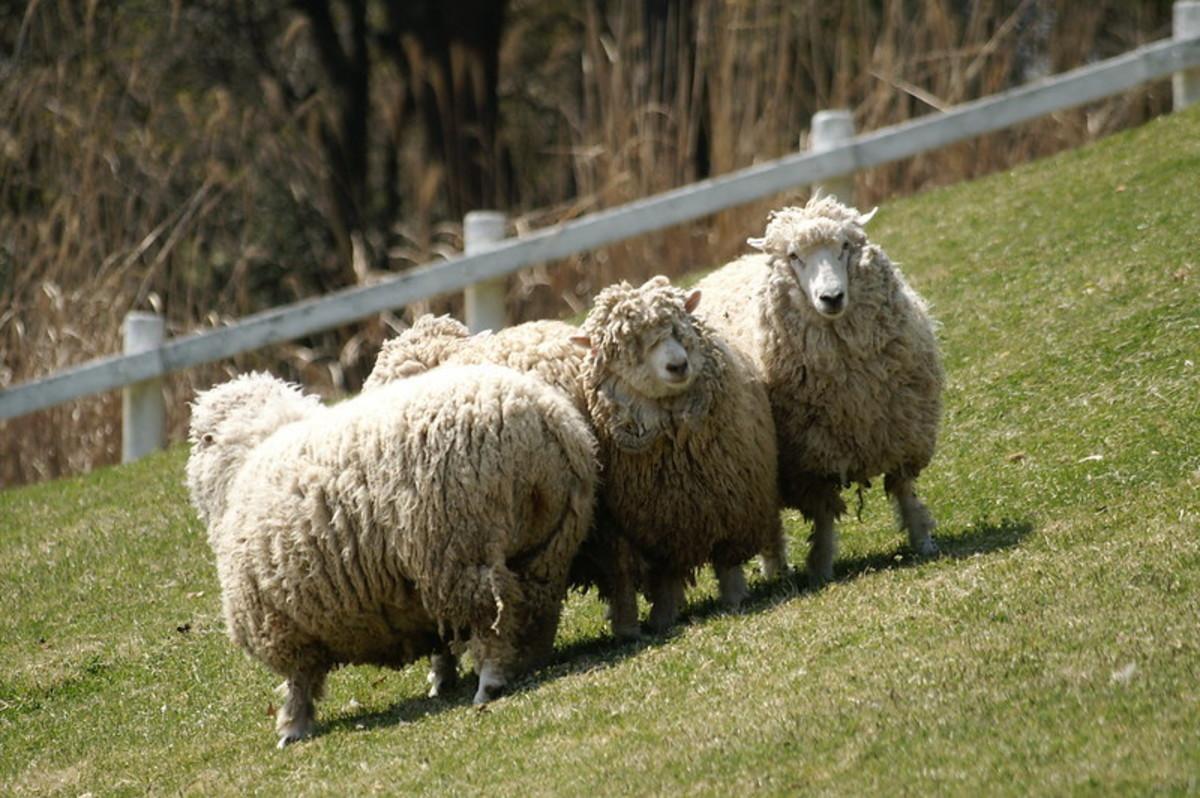 Corriedale sheep