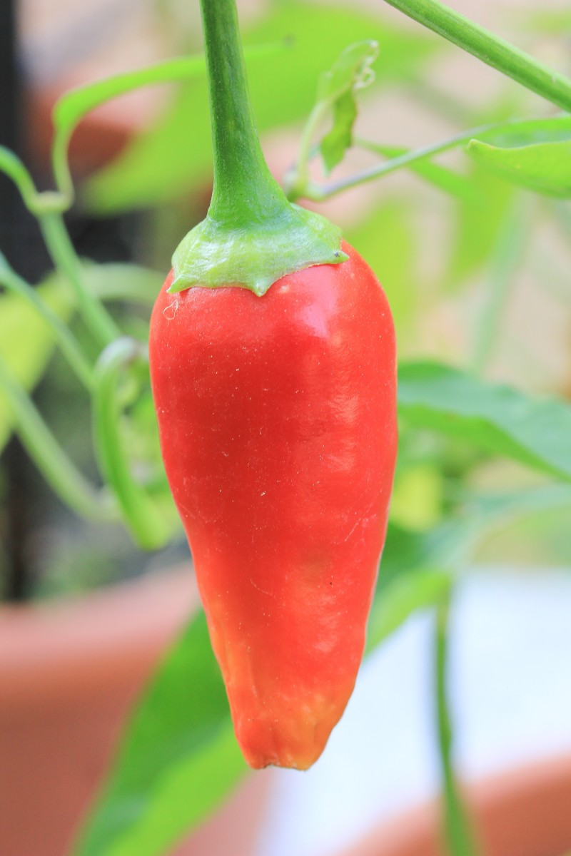 A beautiful cayenne pepper growing in a botanical garden