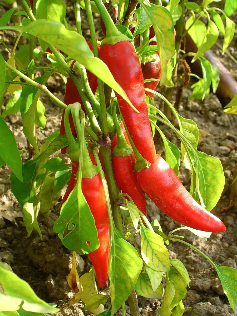 Cayenne peppers in a botanical garden