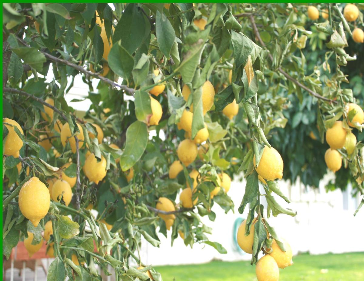 The lemons in the center of the tree were not frozen, though!