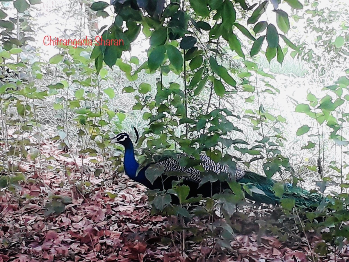 Interesting Facts About the National Bird of India—The Peacock.