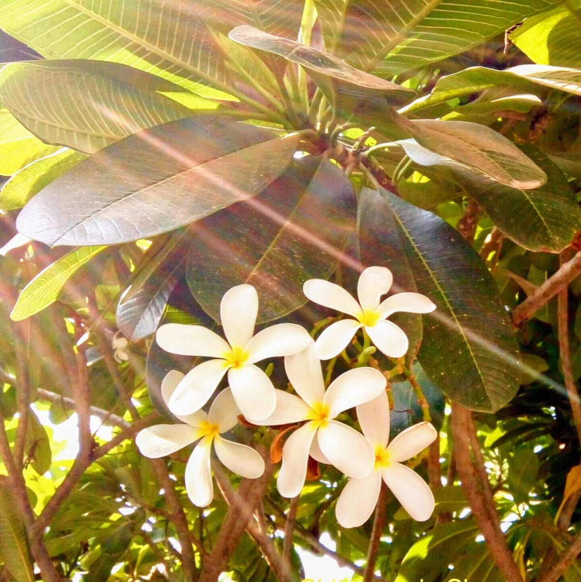 Walking along these fragrant flowers in the early morning, makes you stress free