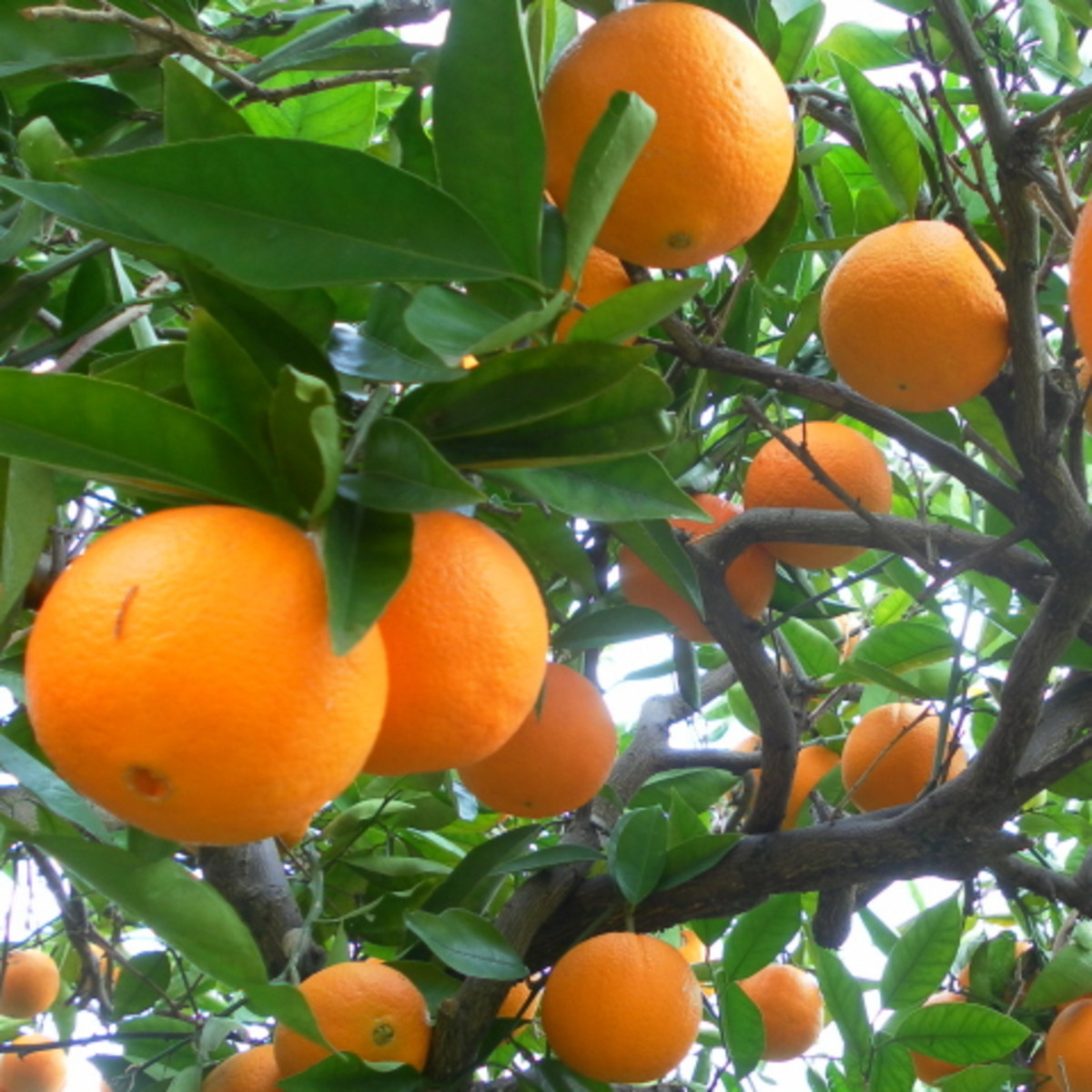 Navel oranges are almost ready for harvesting.