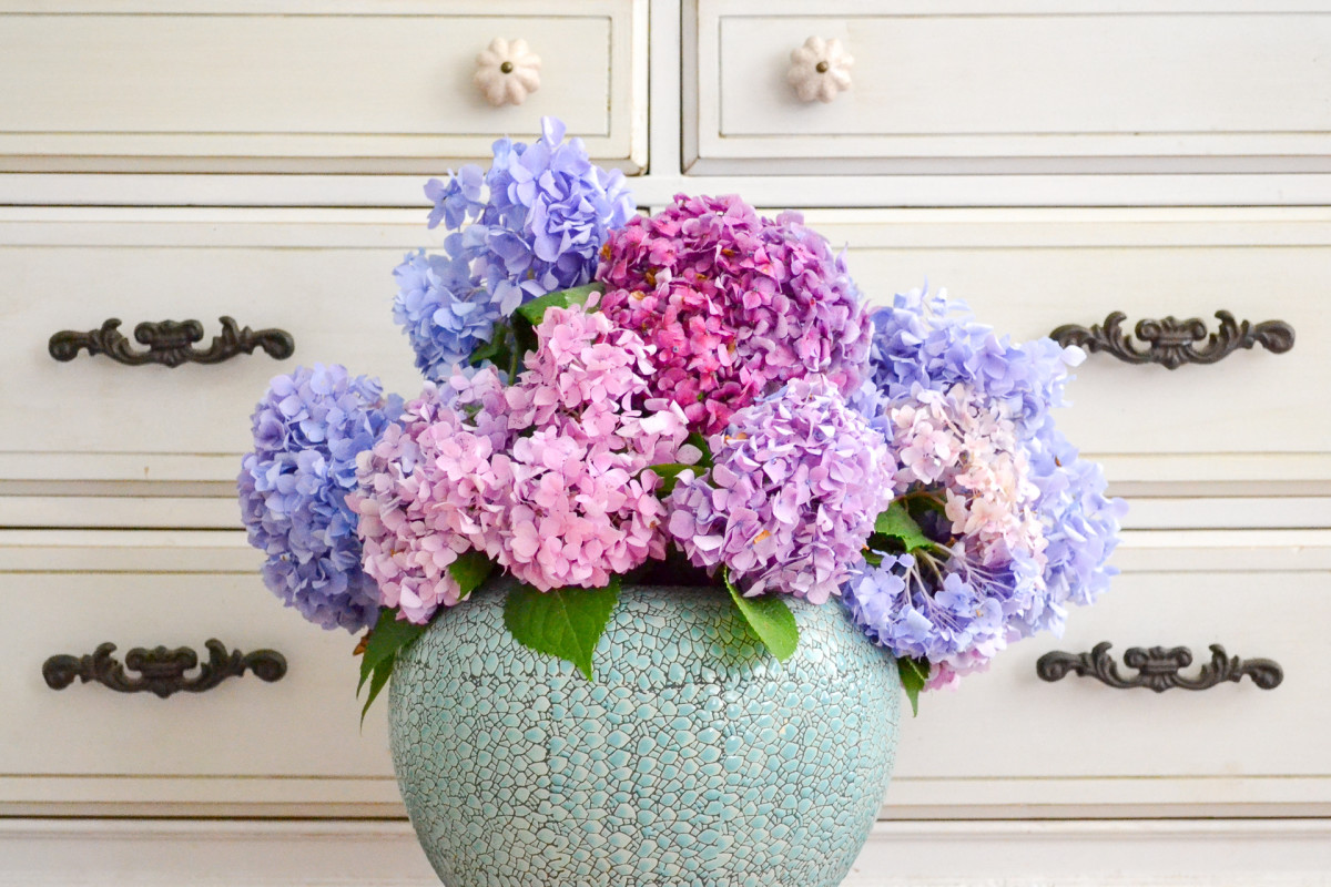 Hydrangeas blooming grows with colors changing with fresh bouquets!