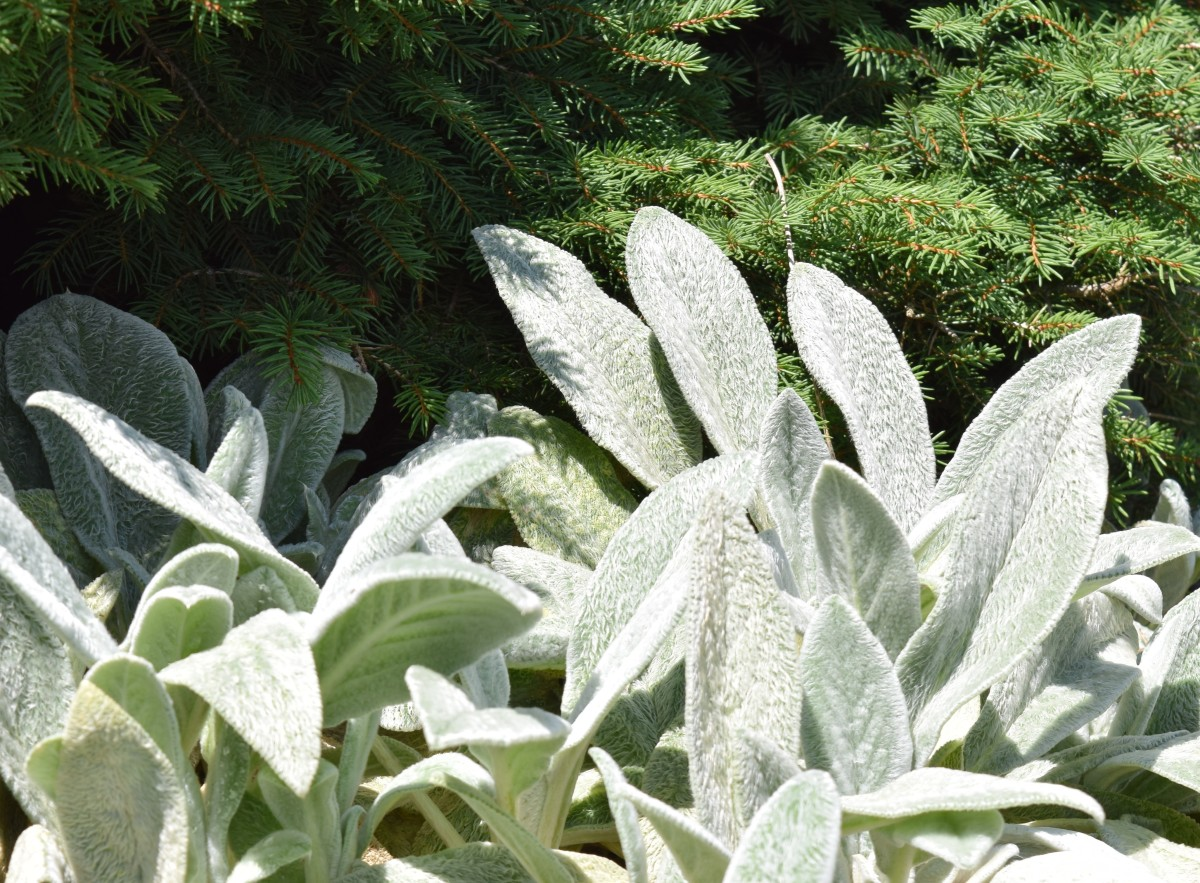 Lamb's Ear, Stachys byzantina, a sun lover, forms a low growing mat near an evergreen.