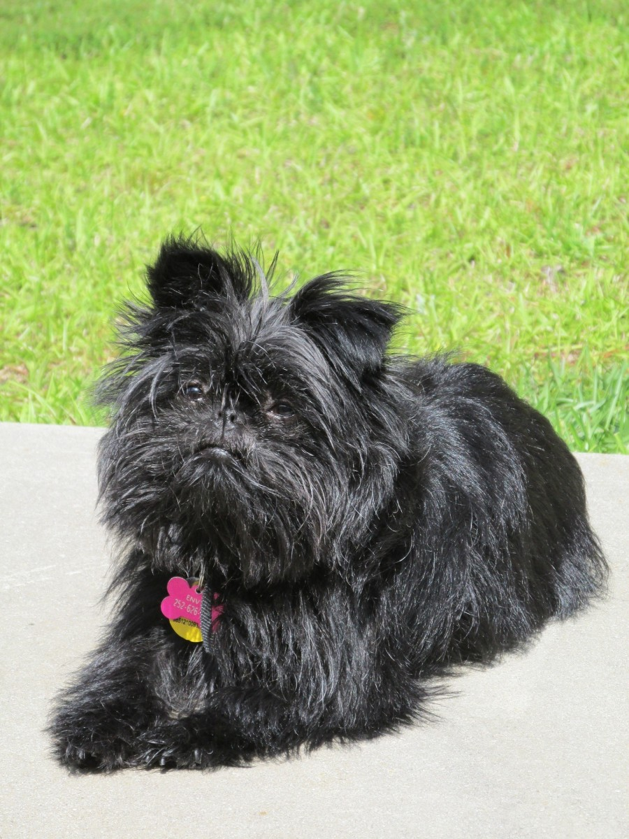 Pictured here is a solid black Affenpinscher taking a break in the park.