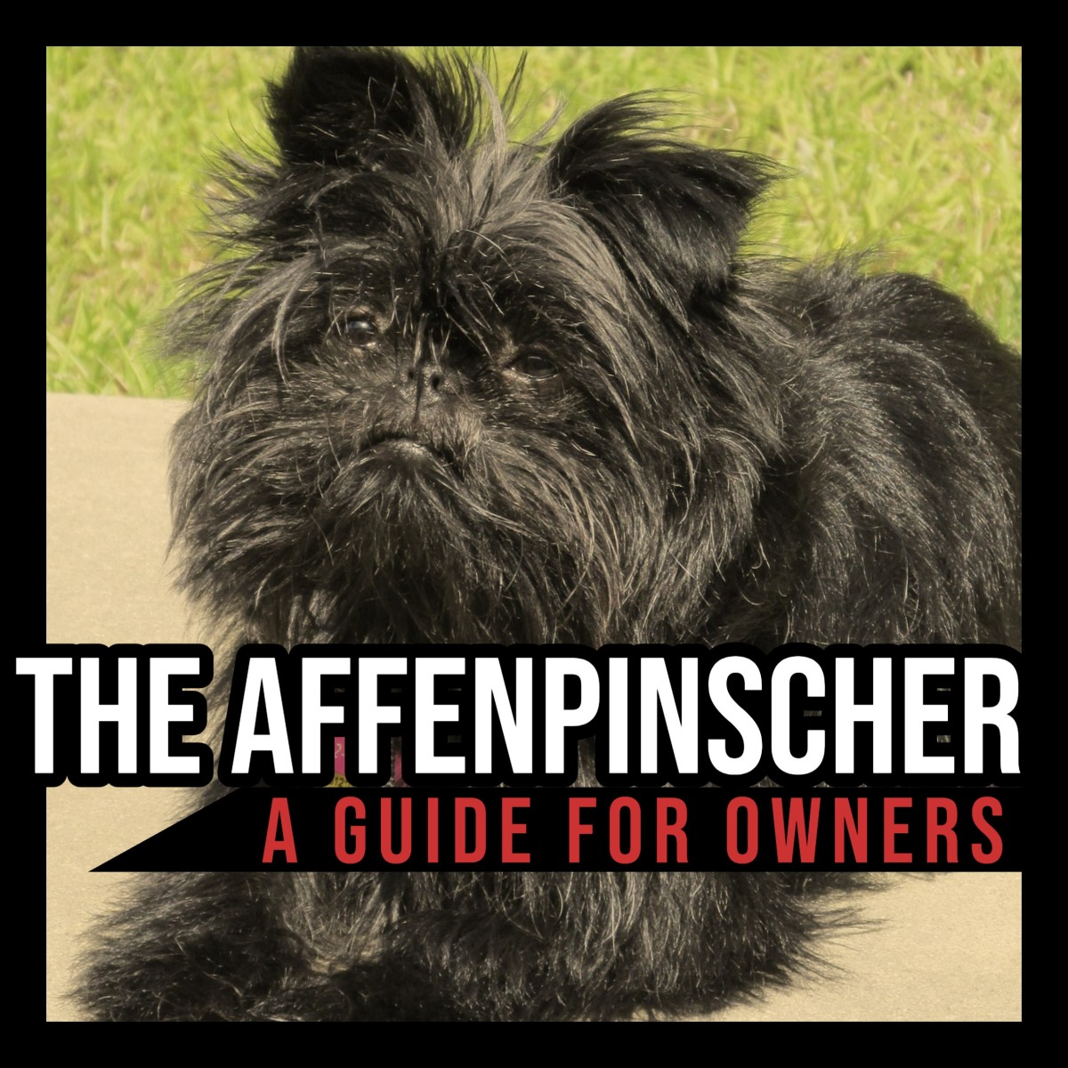 The Affenpinscher: A Guide for Owners