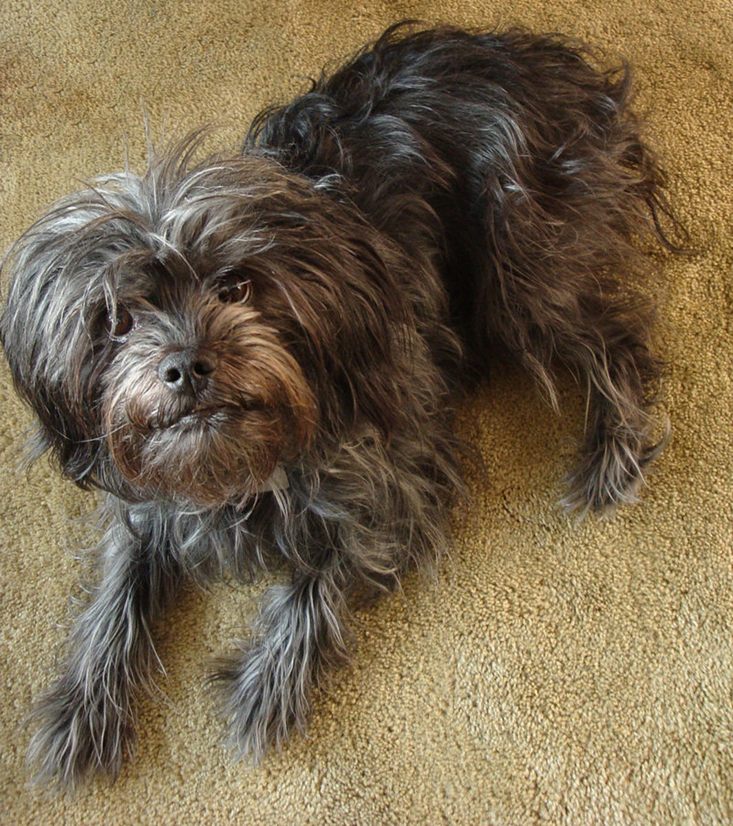 Pictured here is a grey Affenpinscher.  Although most in this breed maintain a solid black coloration, the Affenpinscher comes in a wide array of colors.