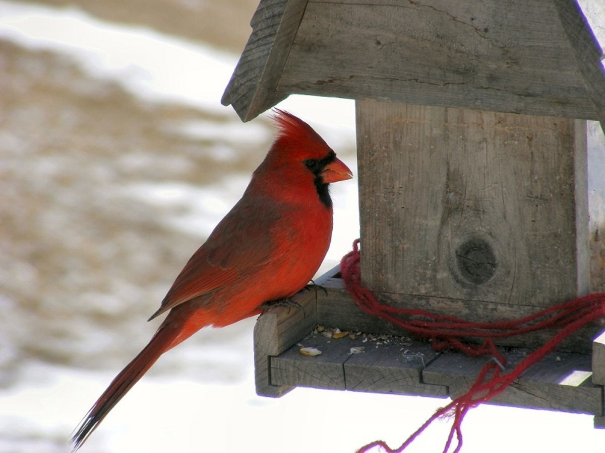 A bird feeder will attract lots of colorful birds (like this Northern Cardinal) to your backyard.